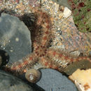 Image of Common brittlestar