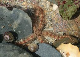 Image of Common brittlestar