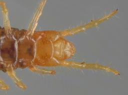 Image of <i>Geophilus easoni</i> Arthur, Foddai, Kettle, Lewis, Luczynski & Minelli 2001