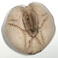 Image of Sea potato