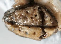 Image of <i>Collemopsidium foveolatum</i> (A. L. Sm.) F. Mohr