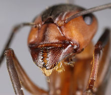 Image of Red Wood Ant