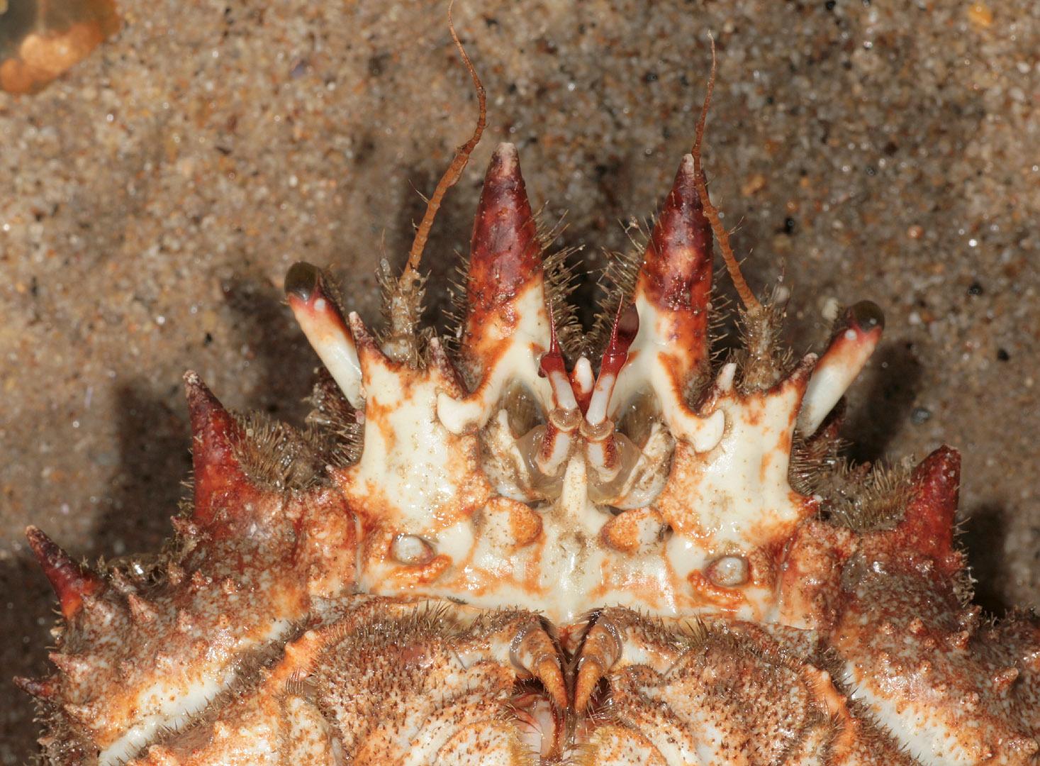 Image of Atlantic spider crab