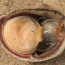 Image of Common Slipper Shell