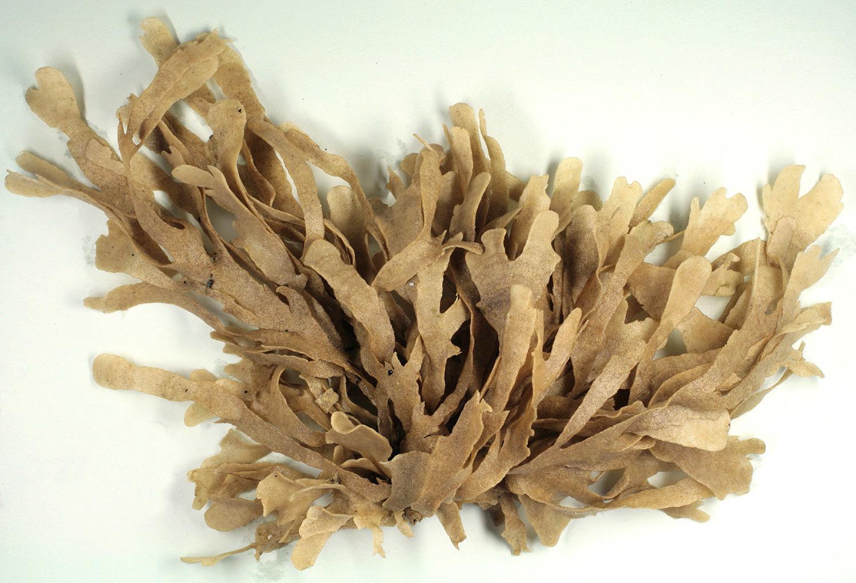 Image of leafy bryozoan