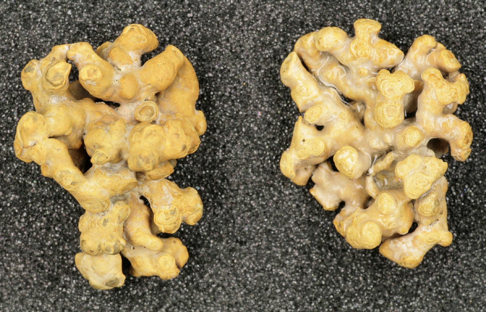 Image of <i>Phymatolithon calcareum</i>