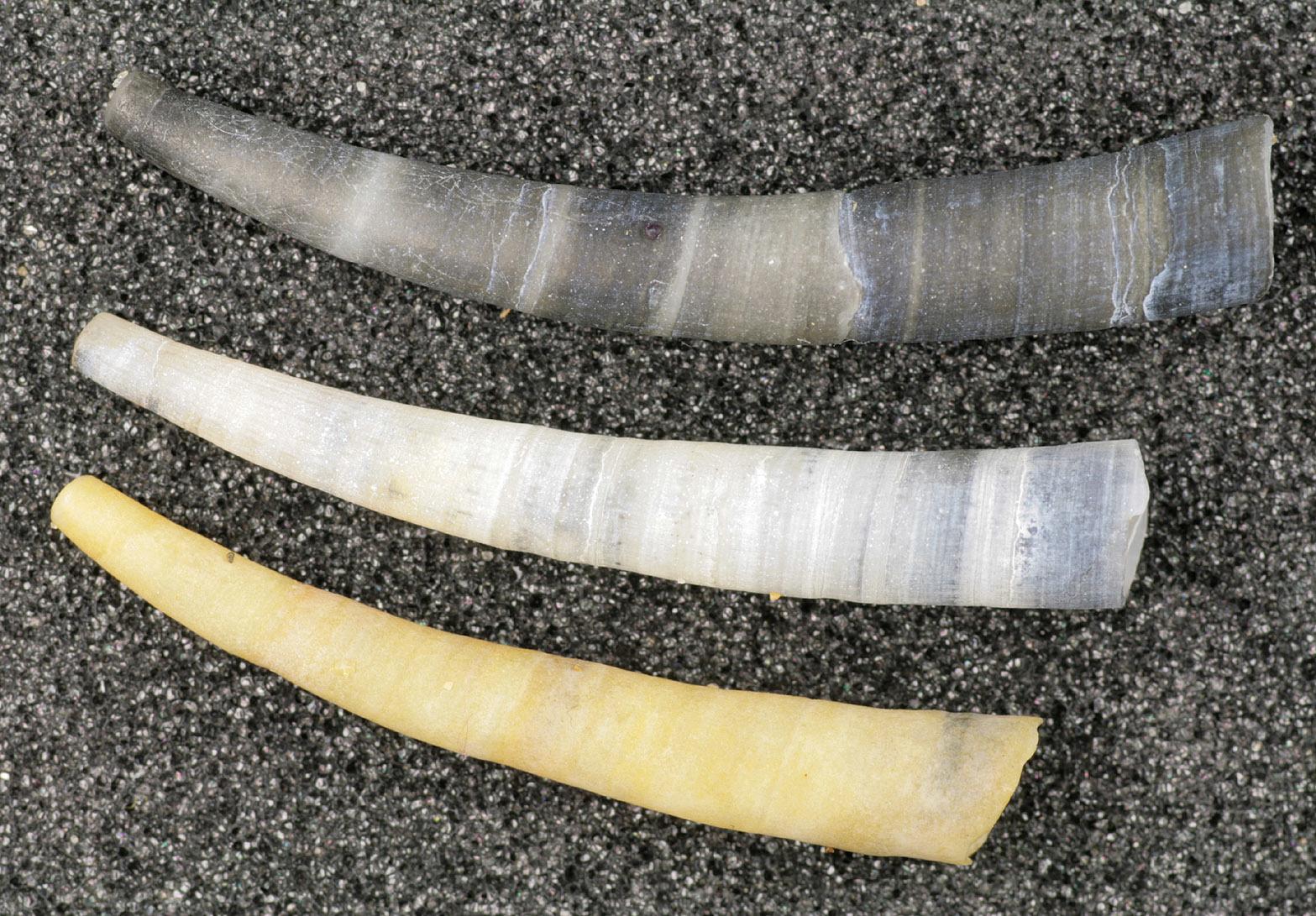 Image of common elephant's tusk