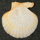 Image of <i>Chlamys opercularis</i>