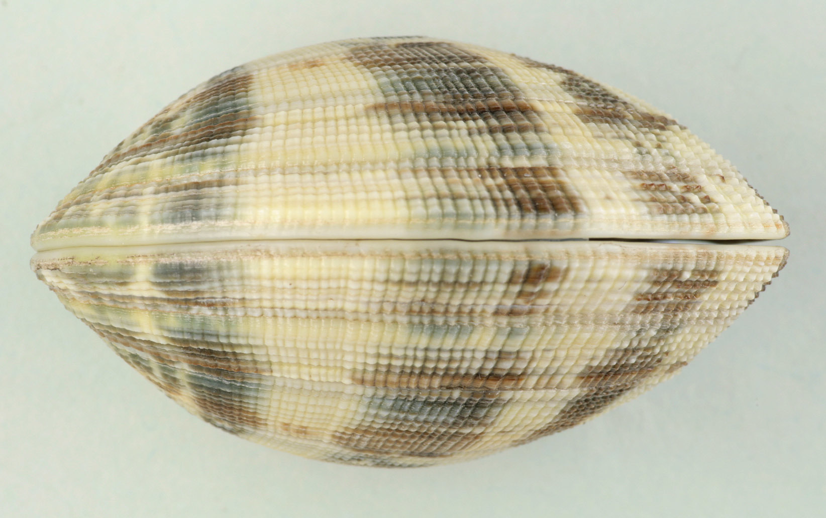 Image of Japanese carpet shell
