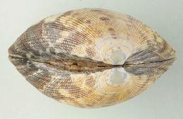 Image of Japanese carpet shell