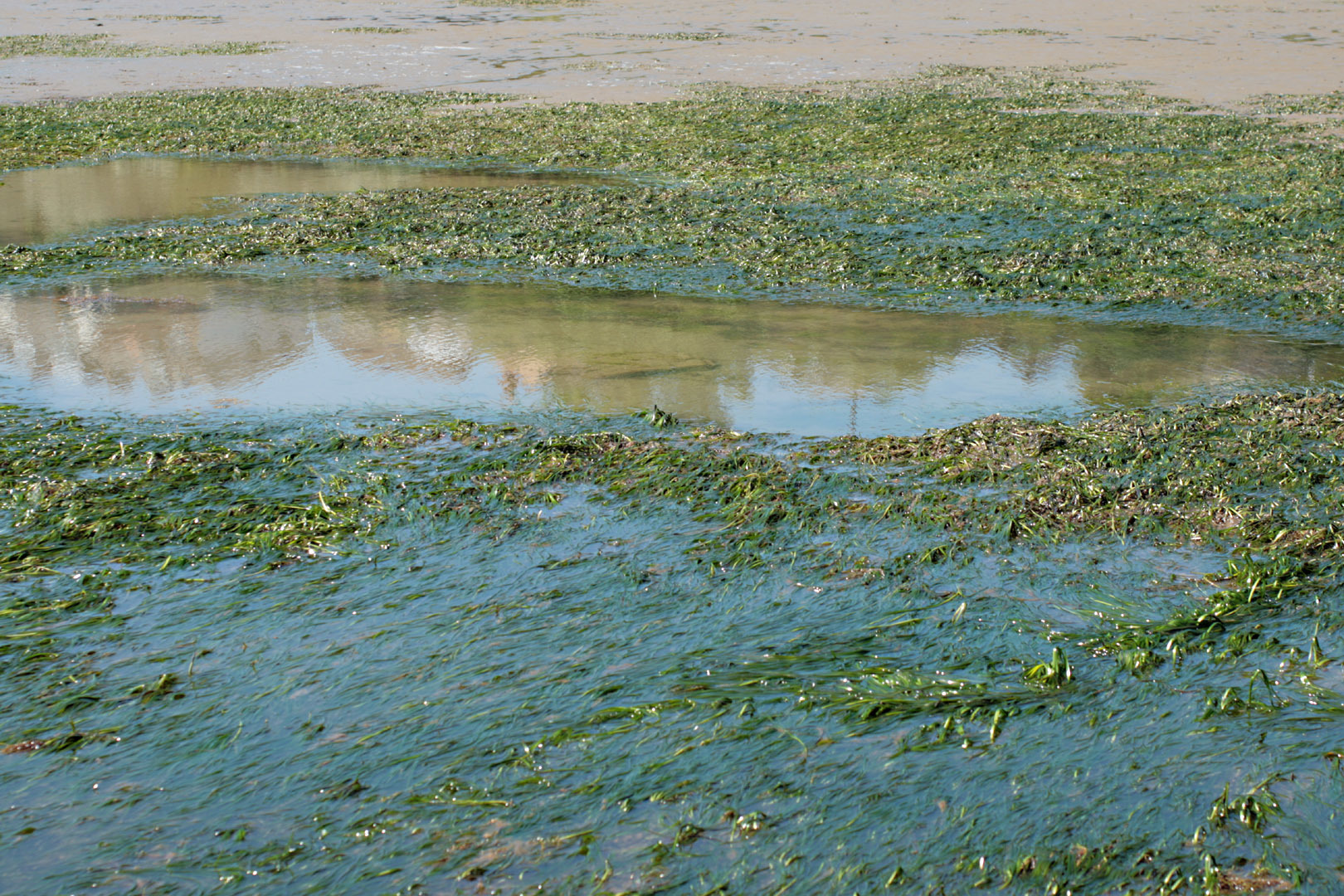 Image of Eelgrass