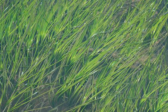 Image of Eelgrass