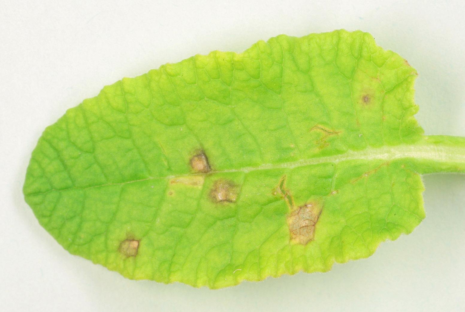 Image of <i>Ramularia primulae</i> Thüm. 1878