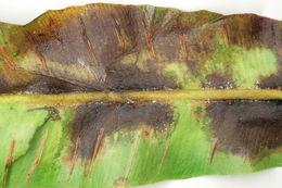 Image of <i>Milesina scolopendrii</i> (Fuckel) Jaap 1912