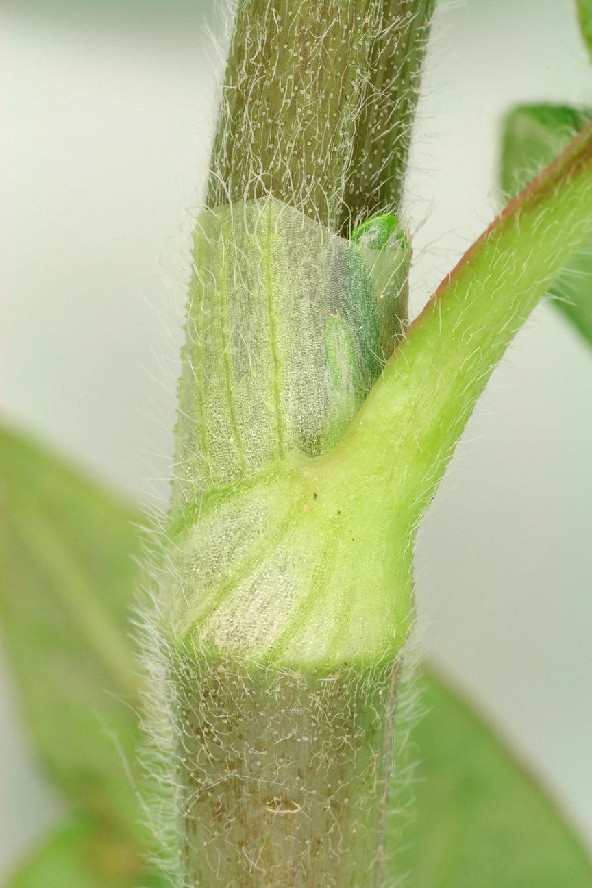 Image of Pinkweeds