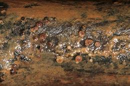 Image of <i>Graddonia coracina</i> (Bres.) Dennis 1955