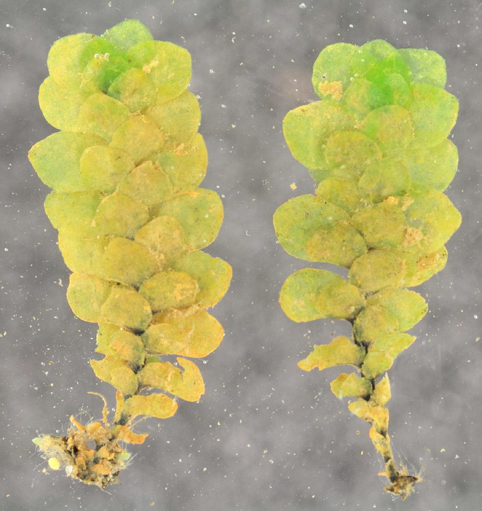 Image of <i>Scapania undulata</i> (L.) Dumort.