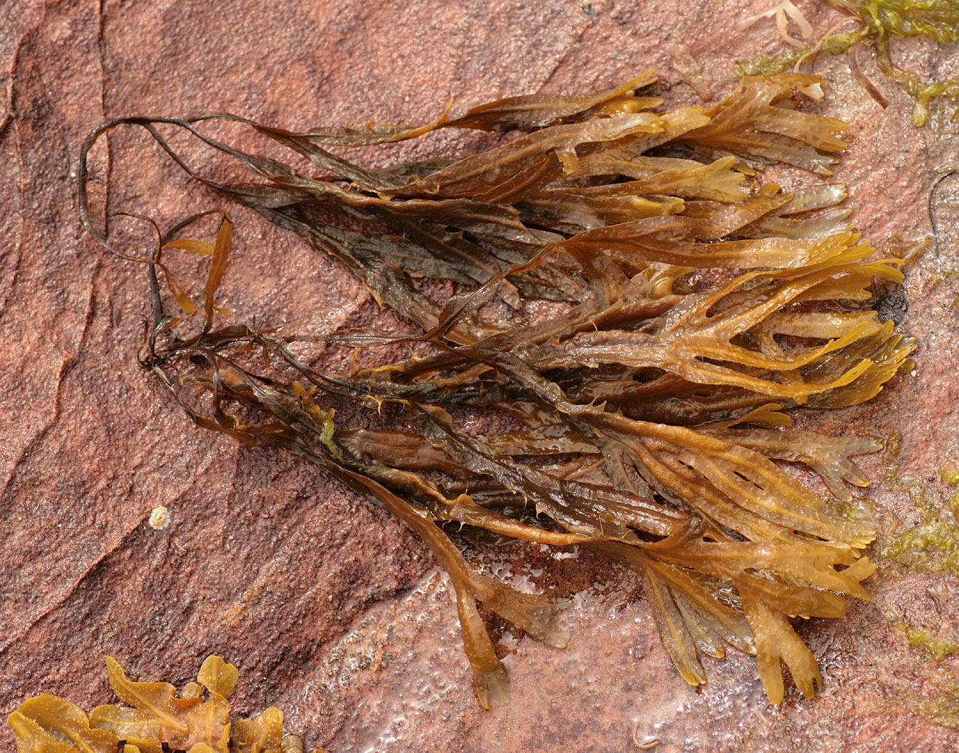 Image of <i>Fucus vesiculosus</i> var. <i>littoralis</i>