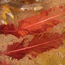 Image of <i>Delesseria sanguinea</i>