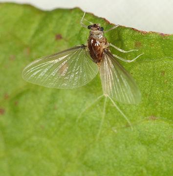 Image of <i>Caenis horaria</i> (Linnaeus 1758)