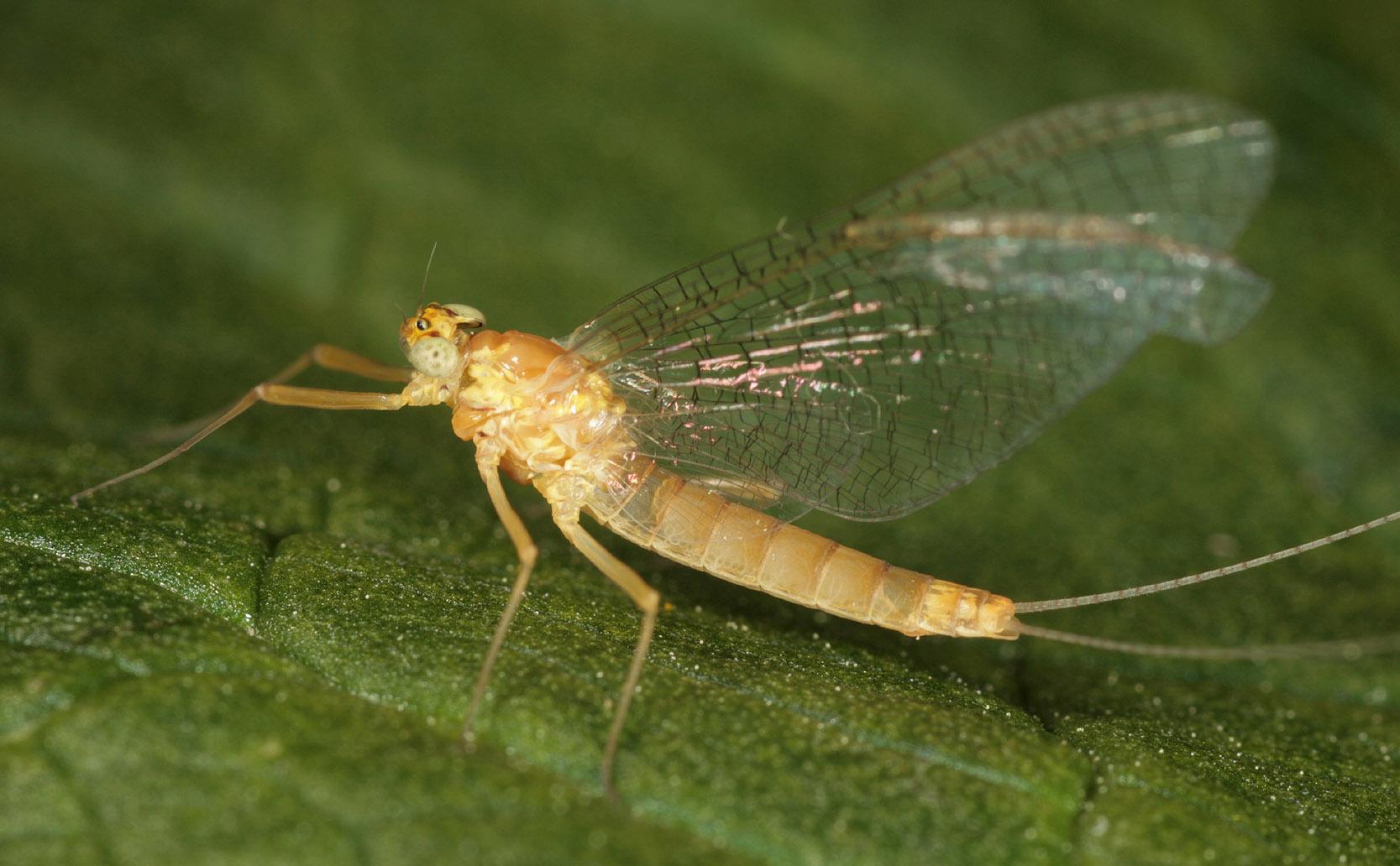 Image of Ecdyonurus