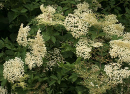Image of black elderberry
