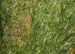Image of <i>Blidingia minima</i>