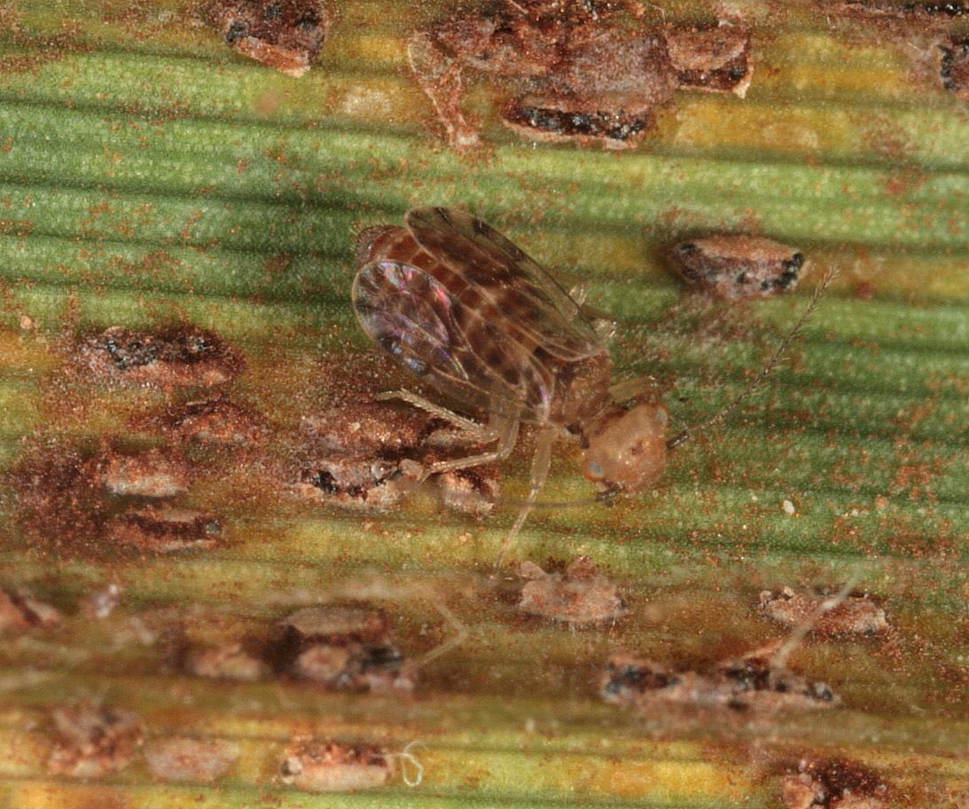 Image of <i>Ectopsocus petersi</i> Smithers & Courtenay 1978