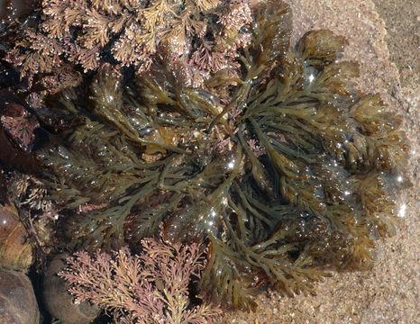 Image of <i>Osmundea pinnatifida</i>
