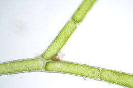 Image of <i>Cladophora laetevirens</i>