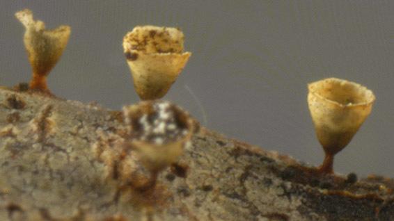 Image of <i>Craterium minutum</i>