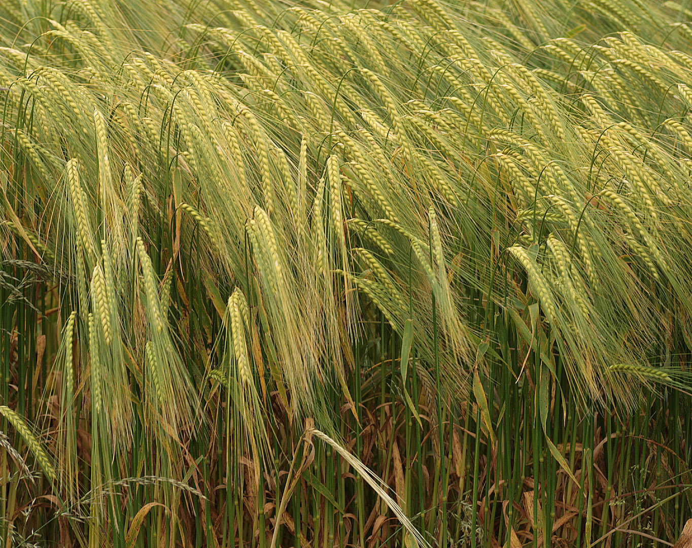 Image of <i>Hordeum distichon</i> L.