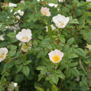 Image of dog rose