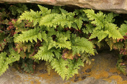 Image of black spleenwort