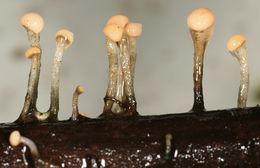 Image of <i>Vibrissea truncorum</i> (Alb. & Schwein.) Fr. 1822