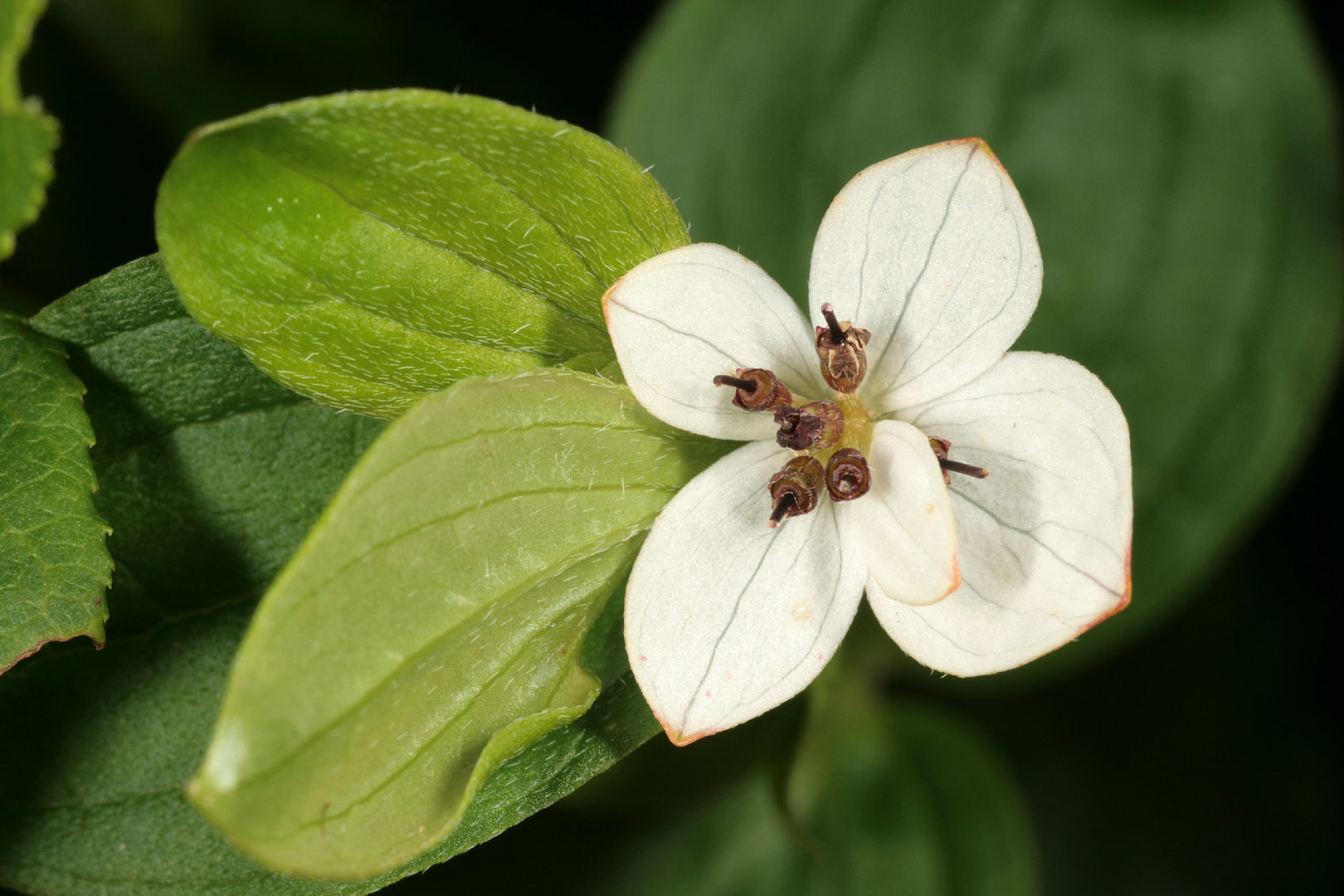 Image of Bunchberry