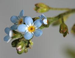 Image of <i>Myosotis laxa</i> ssp. <i>caespitosa</i> (Schultz) Hyl. ex Nordh.