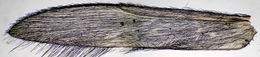 Image of <i>Allotrichia pallicornis</i>