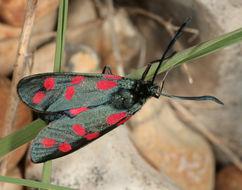 Image of Six-spot burnet moth