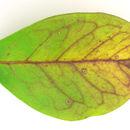 Image of <i>Thedgonia ligustrina</i> (Boerema) B. Sutton 1973