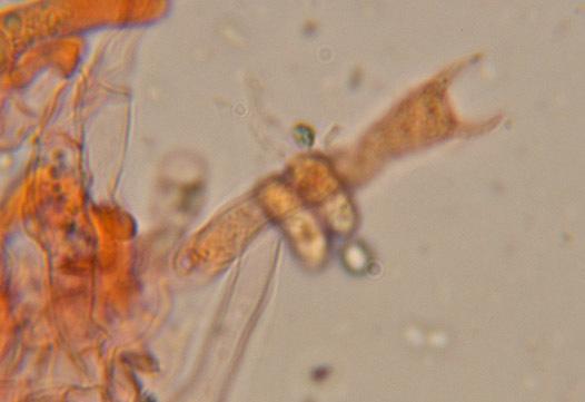 Image of <i>Hyphoderma setigerum</i> (Fr.) Donk 1957