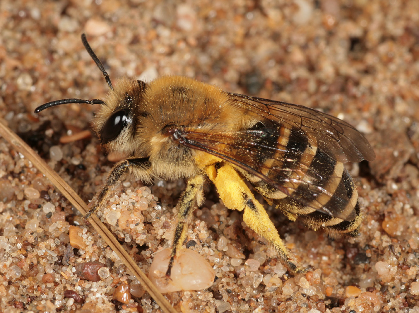 Image of <i>Colletes hederae</i> Schmidt & Westrich 1993