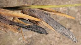 Image of <i>Claviceps purpurea</i> var. <i>spartinae</i>