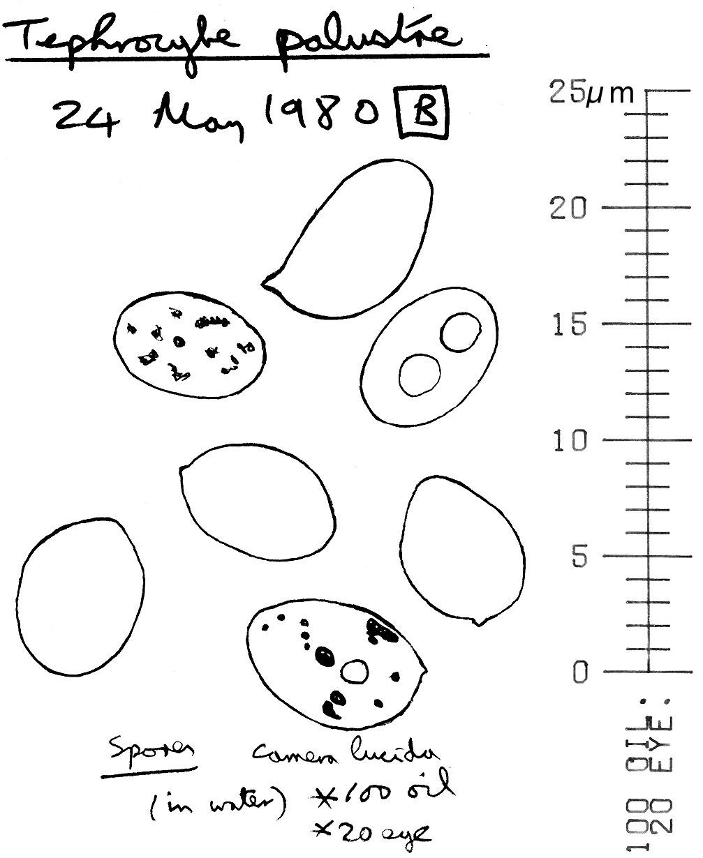 Image of <i>Sphagnurus paluster</i> (Peck) Redhead & V. Hofst. 2014
