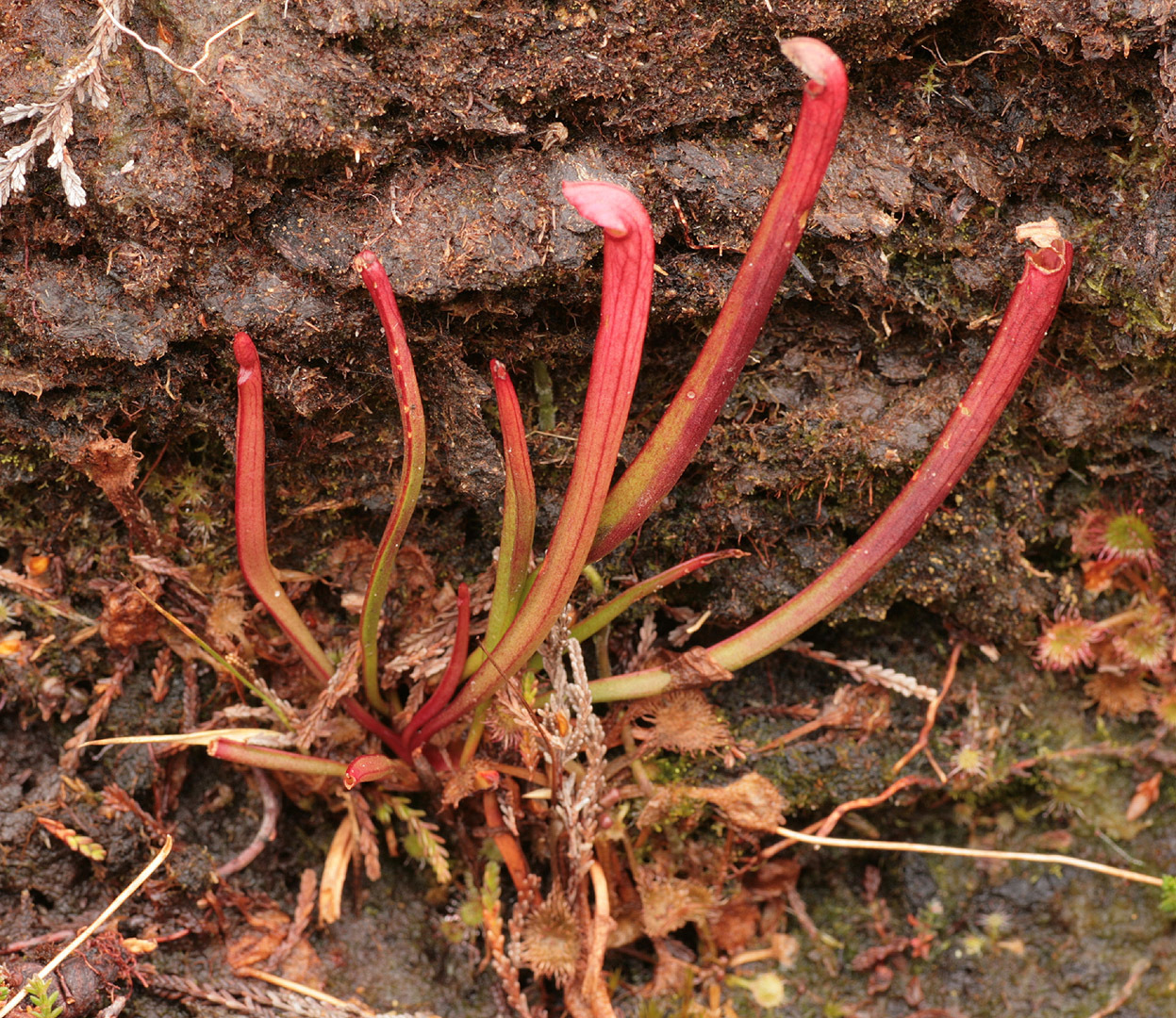 Image of pitcher plants