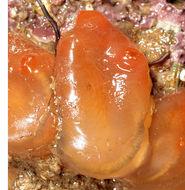 Image of <i>Corella eumyota</i> Traustedt 1882