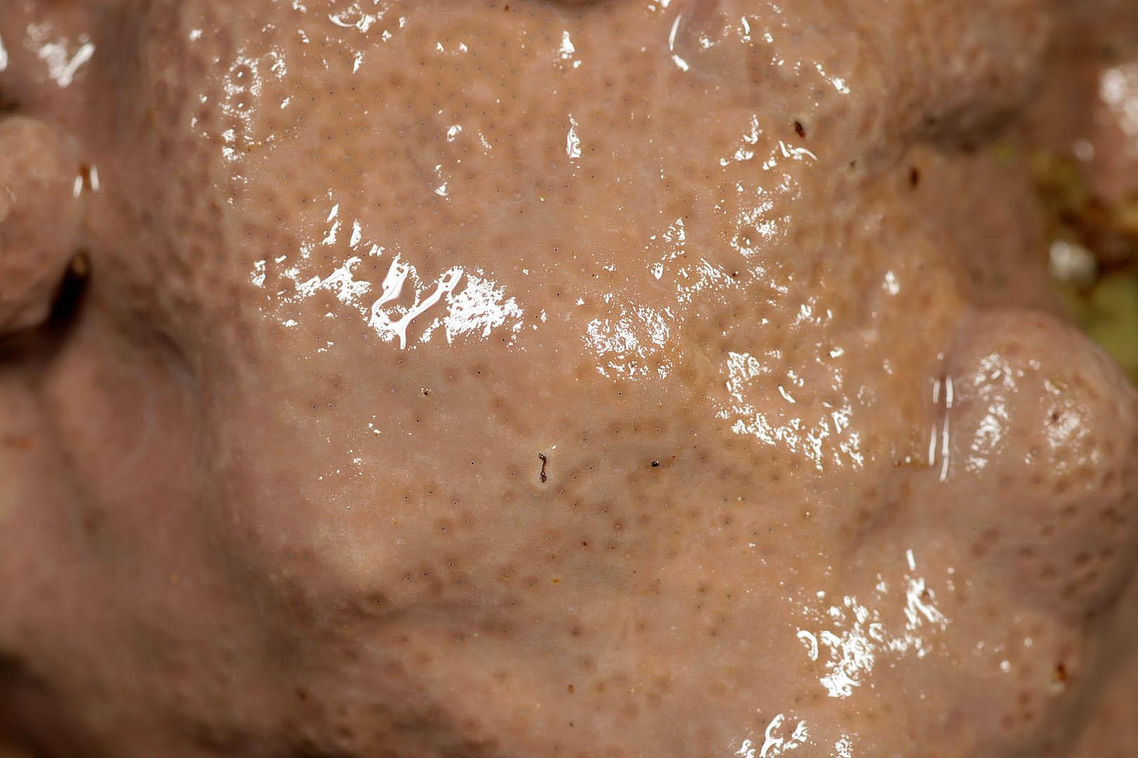 Image of <i>Lithophyllum incrustans</i>