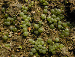 Image of <i>Botrydium granulatum</i>