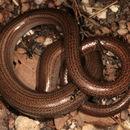 Image of Slow worm