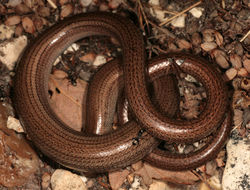 Image of Slow worm